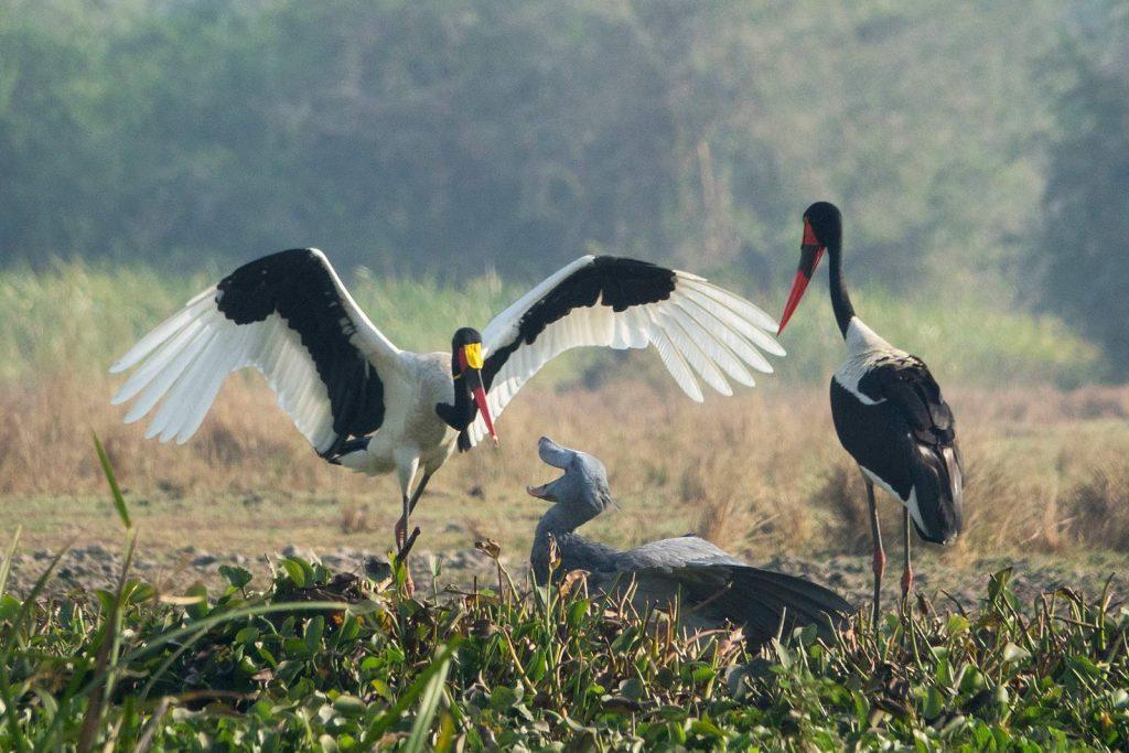 Birding in Murchison Falls Uganda
